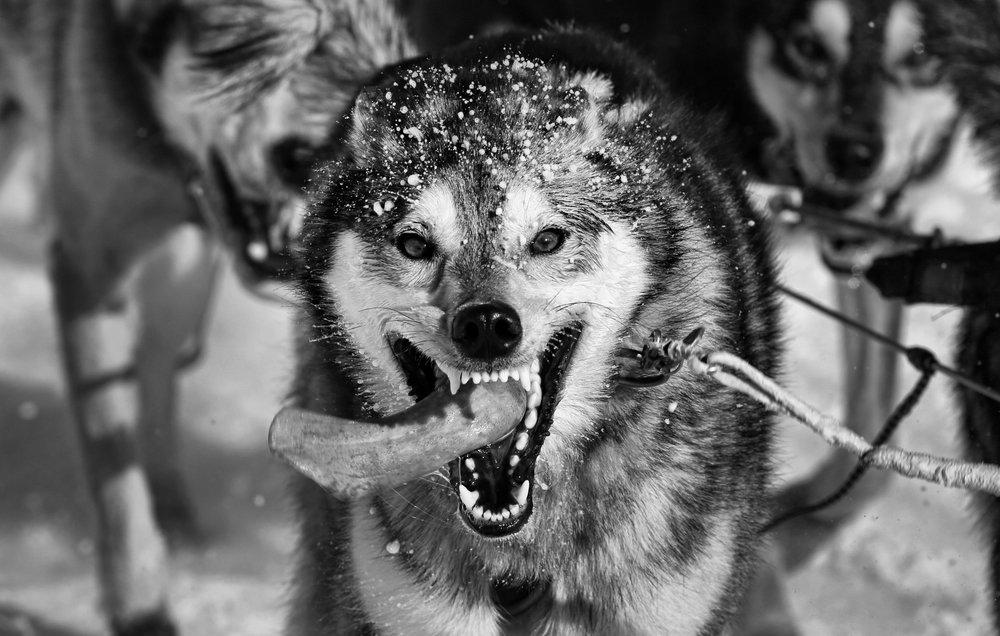 idarod bw dog photo.jpg