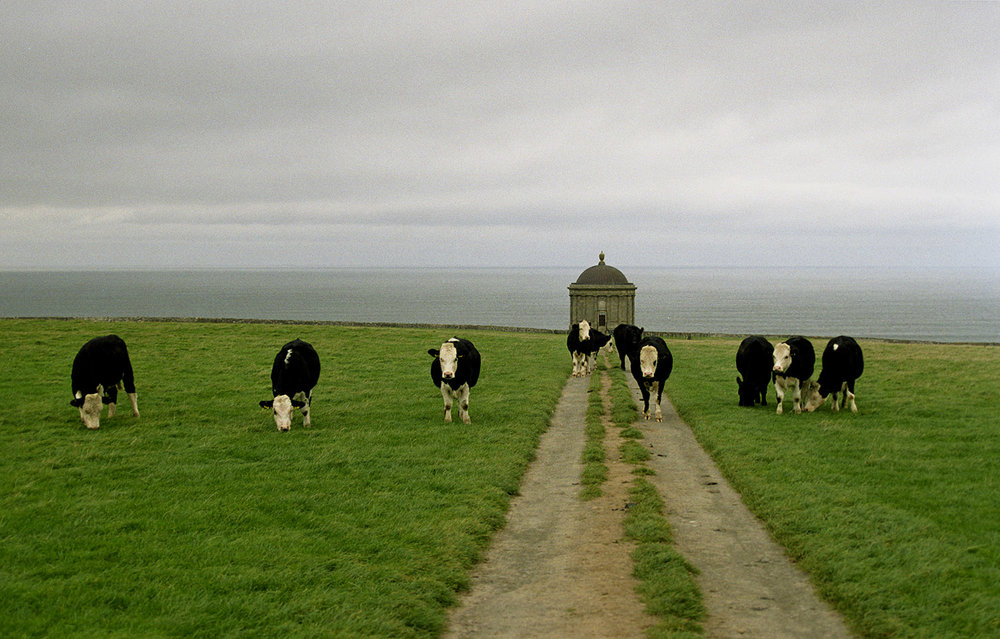 cows_web.jpg
