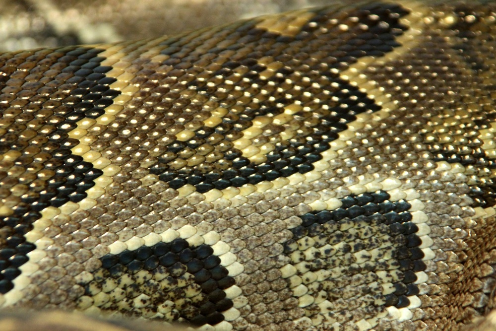 texture.  Modèle  serpent  peaux.