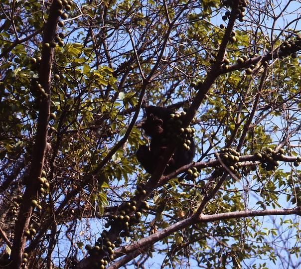 Chimpanzee fig feast