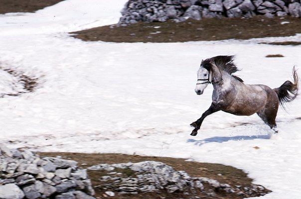 Frisky Montenegrin horse