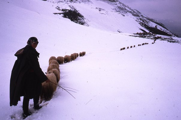 Herding sheep up on the mountain