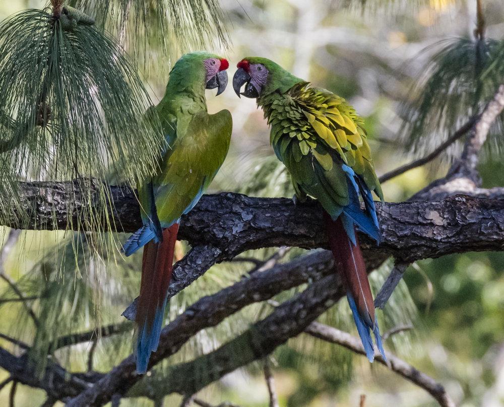 macaws for website 2000ppi.jpg