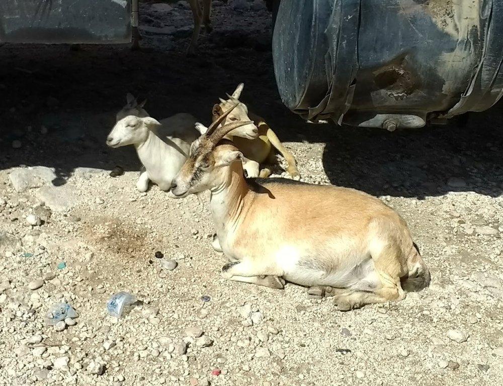 Goat - $50