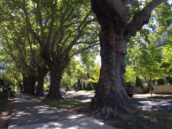 Irvingtonhas a number of streets where rows of the original street trees, most planted over a hundred years ago, survive intact. photo by Julie Fukuda