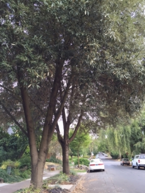 a pair of evergreen oaks (Quercus hypoleucoides) north of Knott street on NE 11th Avenue . Photo by Julie Fukuda