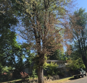 An american elm on se tolman in east moreland that tested positive for dutch elm disease in 2016. photo courtesy of city of portland urban forestry