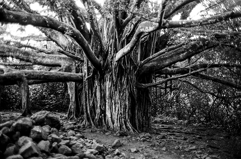 FAMILY TREE - MAUI, HAWAII - 2013