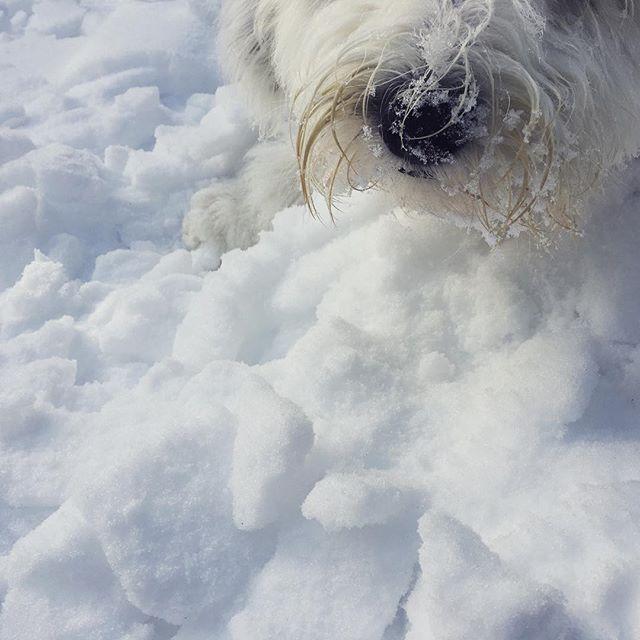 Sooo fluffy! #momothesheepdog
