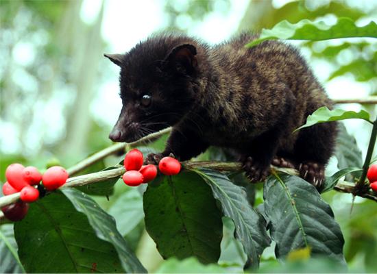 A Kopi Luwak civet cat eating coffee berries