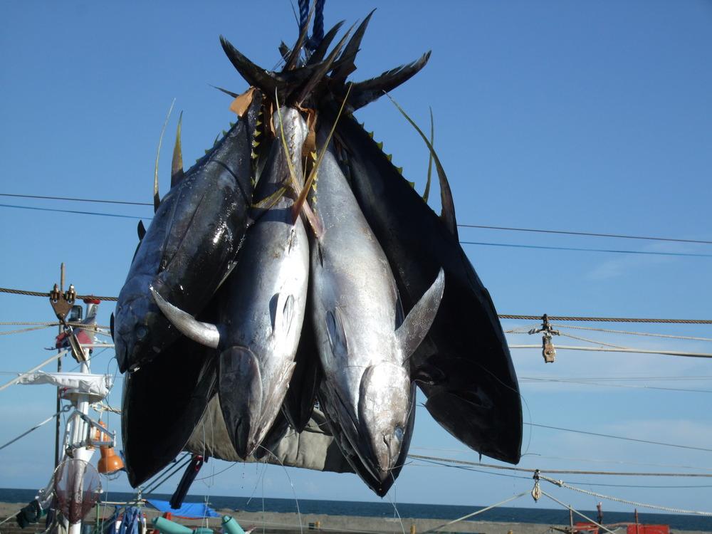 yellowfin offloading.JPG
