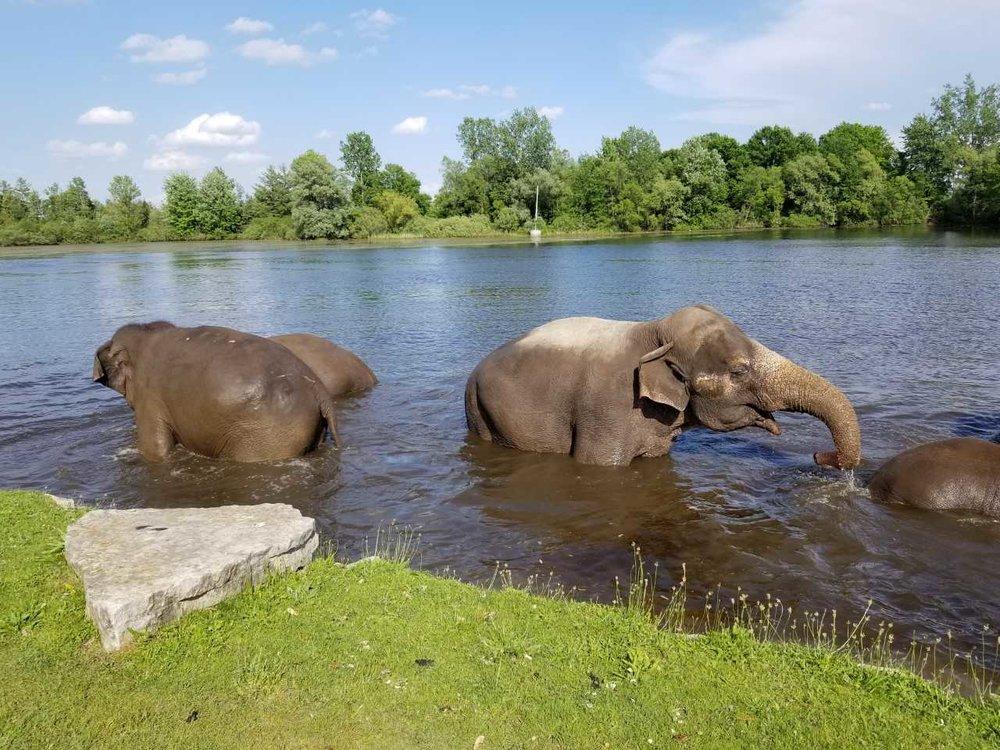 TALS.ElephantSwimTime.jpg