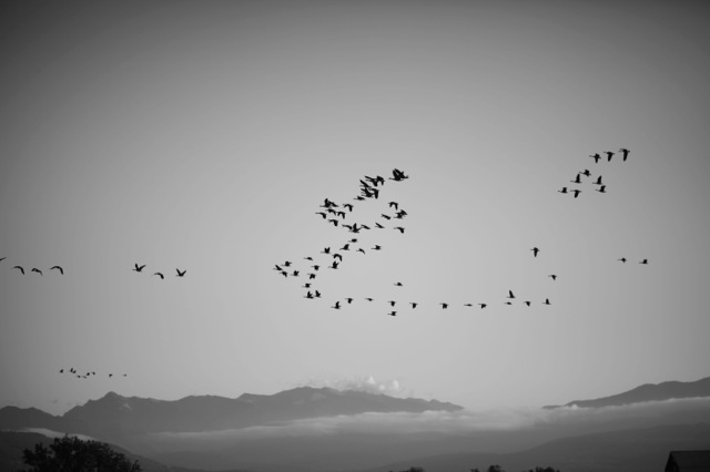 A flock of Canadian Honkers flying over a peaceful valley. Click on image for Soundcloud link.