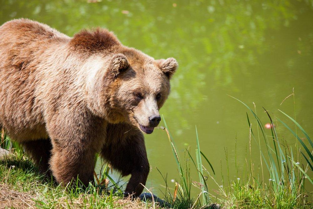 Grosser Teddybär: Ein Grizzly kann bis zu 2.5 Metern Rumpflänge erreichen (Bild: pexels.org)