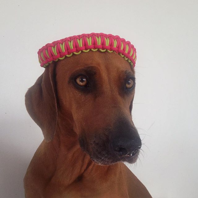 Turn the slow and unproductive #monday to #creativemind day. I was struck by #inspiration and #created a #newdesign Meet Astra, the #queen of #africa wearing her #tiara ... sorry, her #dogcollar in #pink and #lime #green To be continued.... #dogfashion #dogslife #doggielove #pups #instadogs #stylishdog #dogstyle #colors #Rhodesianridgebacks #bestfriend #bästavän #hund #chien #caninelovers #k9 #cachorro #perrosdeinstagram