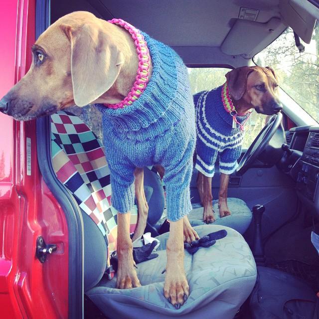 Cool girls in #knitted #jumpers #knitwear #strikket #stickat #dogfashion #style #handmade #wool #winter #style #instadog #dogstagram #scandinavia #dogsofinstagram #pup #pooch #rhodesianridgeback #ridgebacks #liondog #dogwear #outdoor
