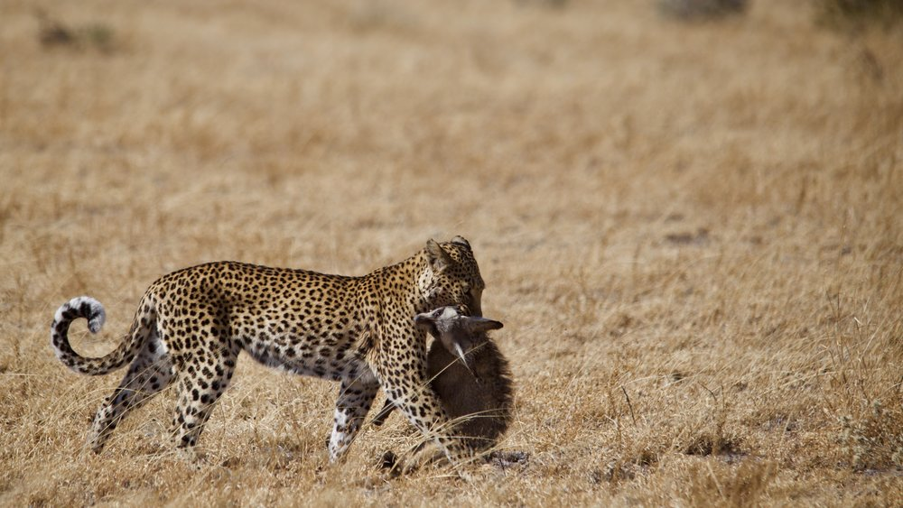 A leopard dragging its kill, a bat eared fox, away to a selected spot to feed.