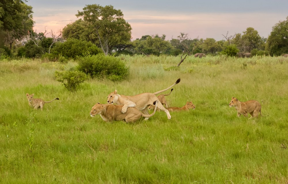 Lioness and cubs in Moremi Game Reserve playing whilst Elephant graze in the background.