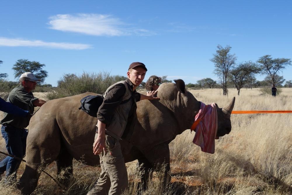 Umsiedlung eines Nashorns zum Schutz vor Wilderern.