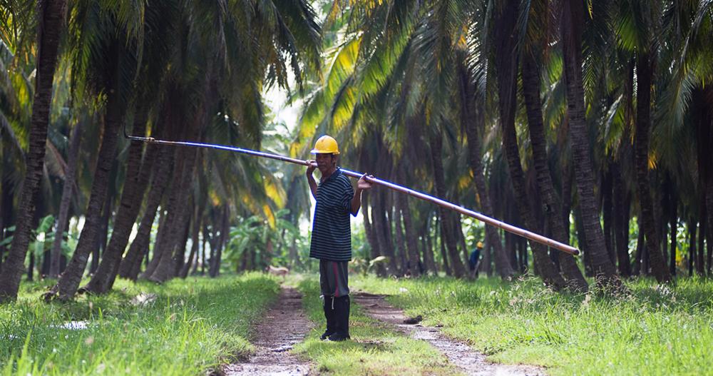 organic coconut farming