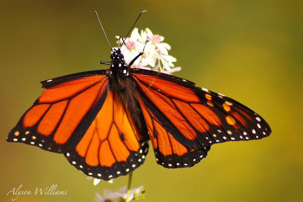 Butterfly1+copy.jpg
