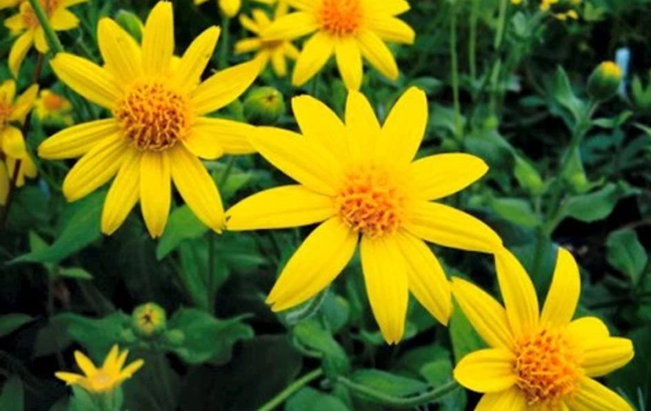 Flor de Árnica