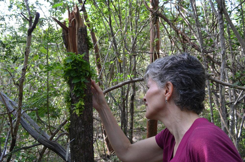 En la Reserva de Guanica, en el lado sur de la isla, Uriarte examina un árbol arrancado que lucha por sacar nuevas hojas.