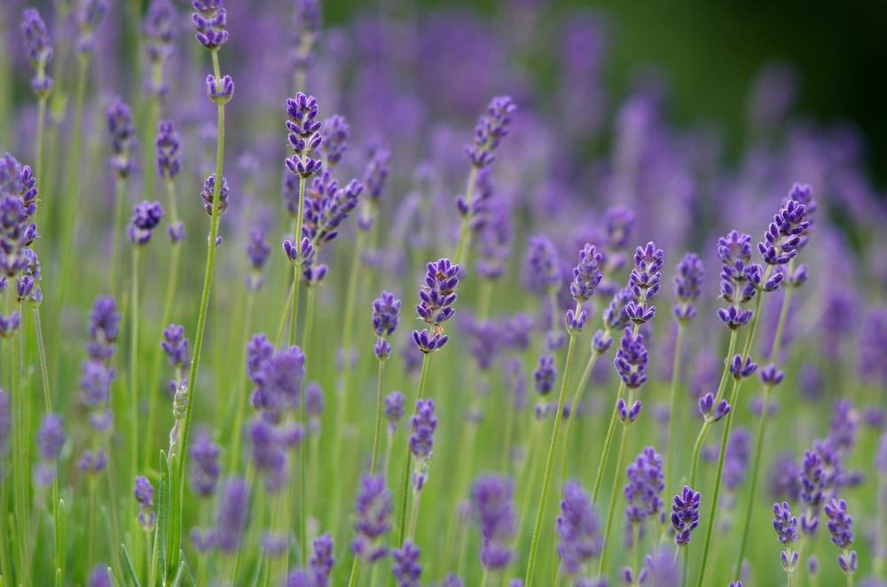 tulsa-vaginal-steam-lavendar-herbs