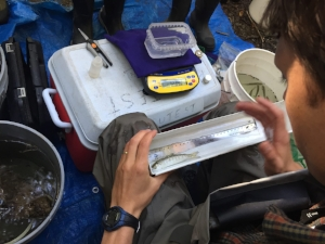 CITIZEN SCIENCE:  VOLUNTEERS WEIGHING, MEASURING AND RECORDING DATA ABOUT COHO SALMON IN THE LAGUNITAS WATERSHED WITH SPAWN
