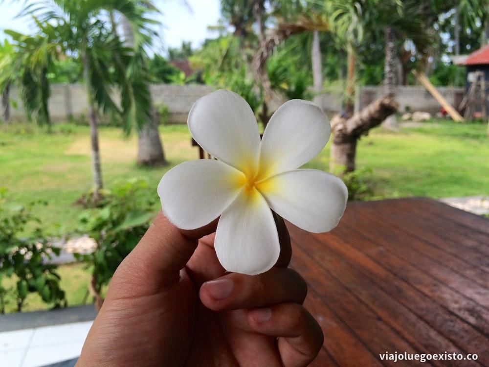 Frangipani, flor típica de Indonesia