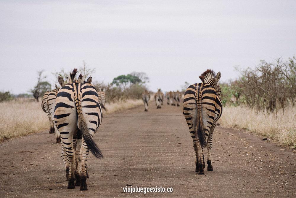 Un enorme grupo de cebras paseando tranquilamente por una carretera del Kruger