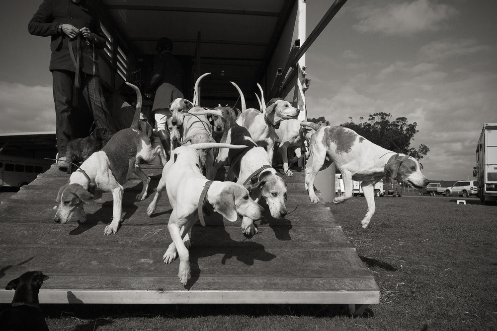 The fox hounds are let out of their trailer and begin to explore the surroundings.