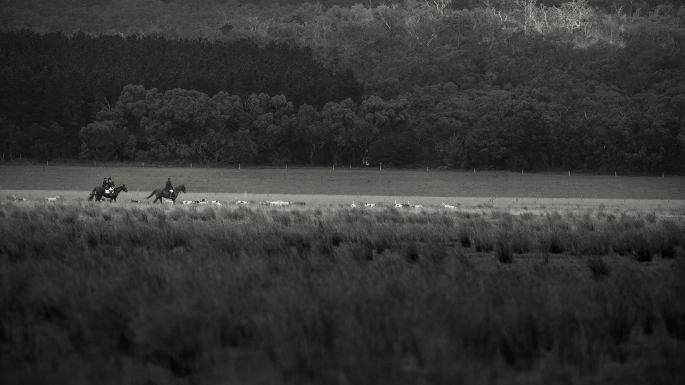 On the search of a Fox scent the Hunt Master and his Hounds roam the fields of Gippsland, Victoria.
