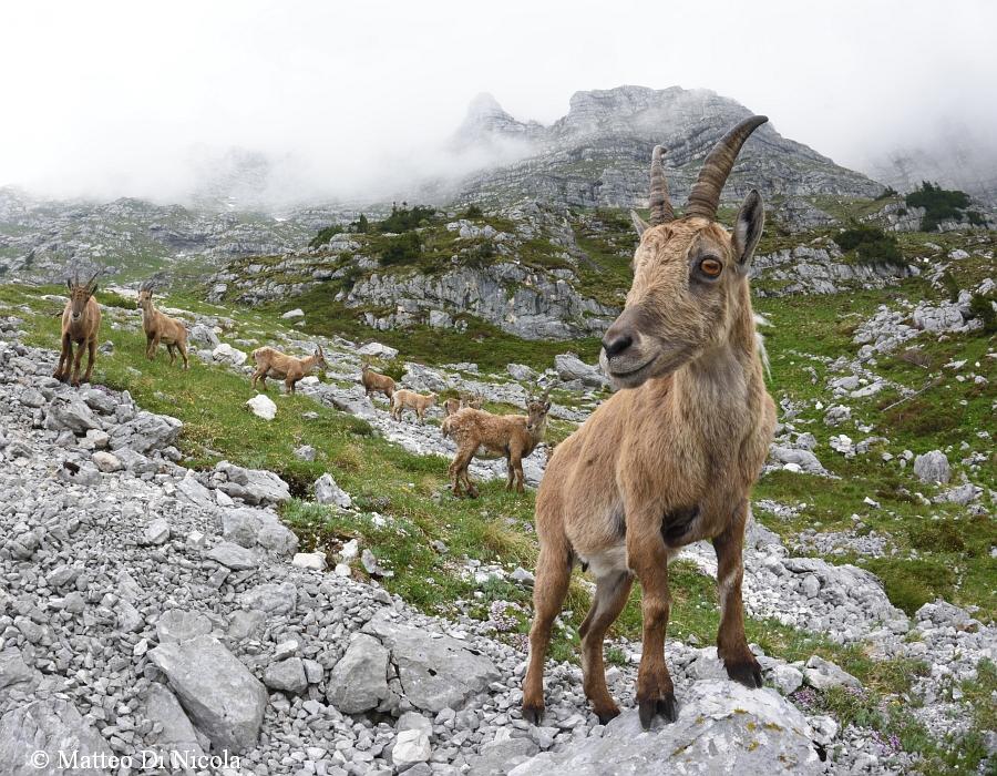 Curious young alpine ibex