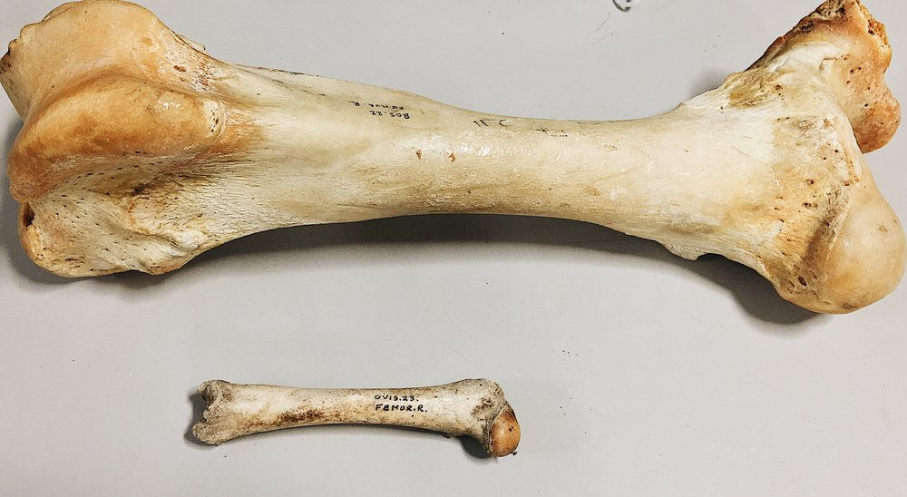 Comparison of Femurs (Cow and Sheep)