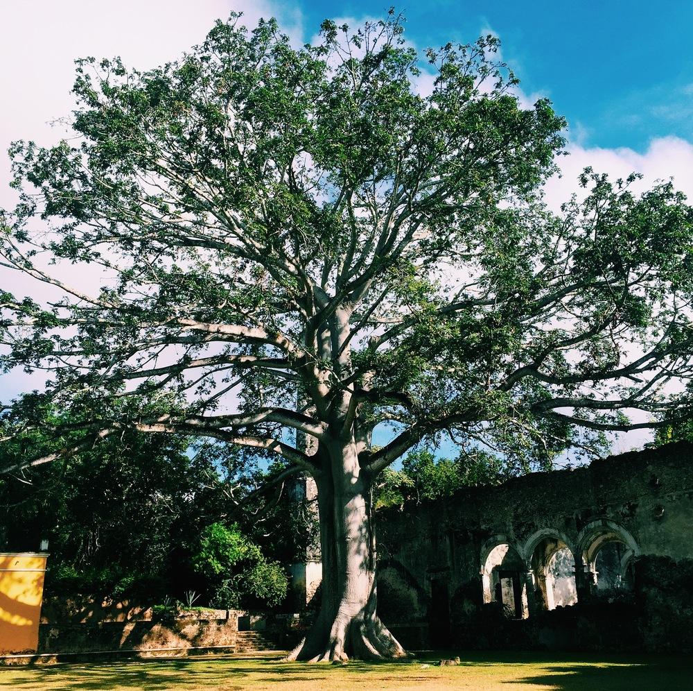 Cieba Campeche Mexico