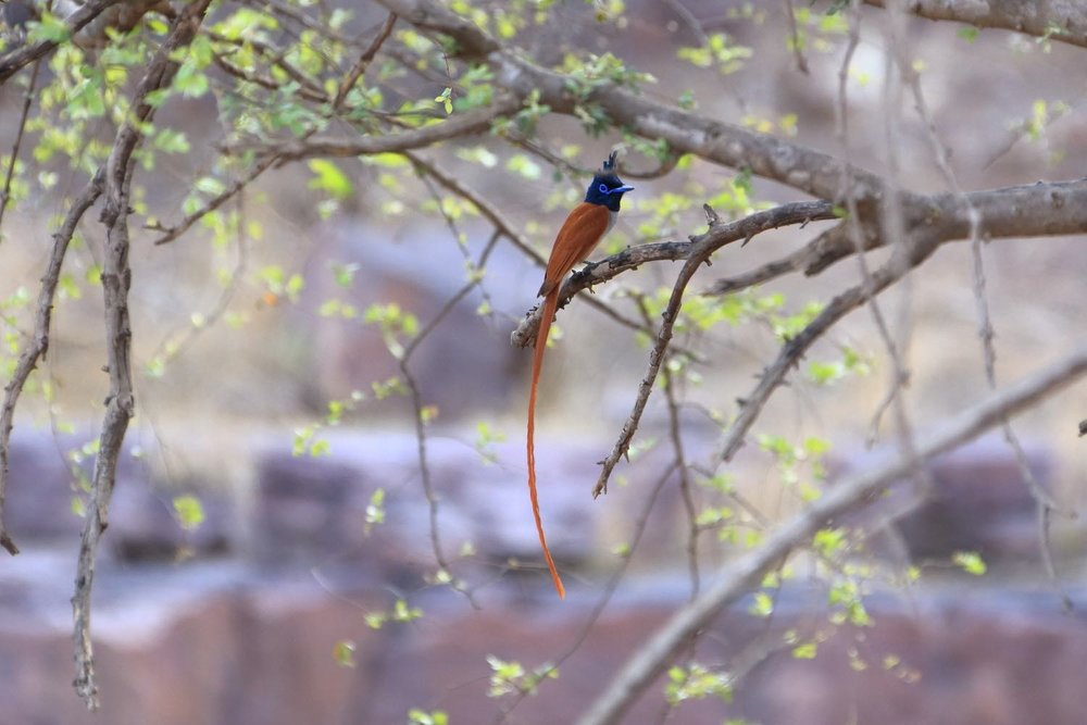 Asian Paradise Flycatcher bird! Ranthambore National Park, India. 09 May 2013. 1/320 s, f/6.3, ISO 1000, 300 mm, EOS 6D + EF 28-300 L