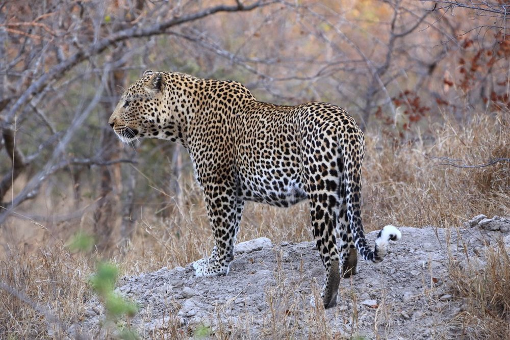Big Leopard male! It's very easy to see the Big Five except the leopard! This is the most impressive wild life experience that I have ever had! Karongwe Private Game Reserve, South Africa. 11 August 2014. 1/200 s, f/8, +1/3 EV, ISO 3200, 300 mm, EOS 6D + EF 28-300 L