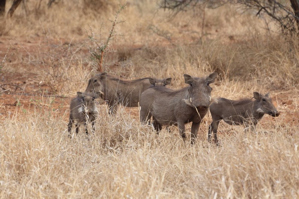Warthog family! Karongwe Private Game Reserve, South Africa. 12 August 2014. 1/250 s, f/8, +1/3 EV, ISO 500, 300 mm, EOS 6D + EF 28-300 L