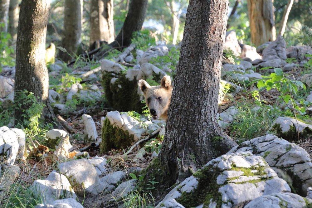 Cucù!! Bear, Slovenia. 17 July 2015. 1/200 s, f/8, -1/3 EV, ISO 3200, 300 mm, EOS 6D + EF 28-300 L
