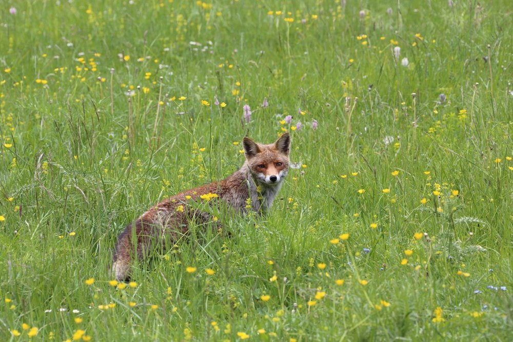 Curious Fox! Parco nazionale d'Abruzzo, Lazio e Molise. Italy. 19 June 2015. 1/250 s, f/11, ISO 500, 300 mm, EOS 6D + EF 28-300 L
