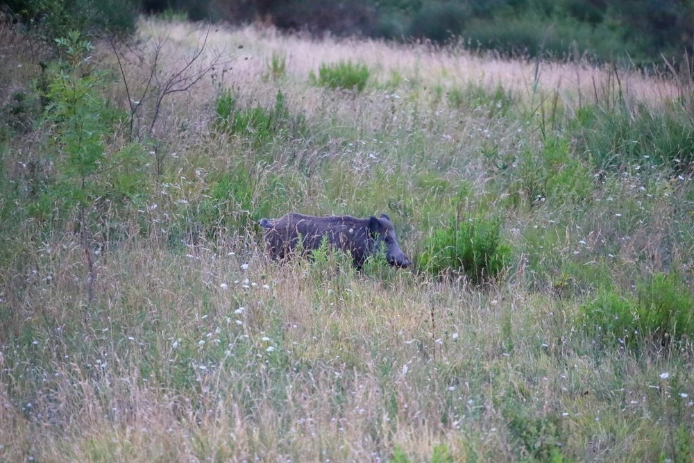 Wild boar! Carigo, Rep. of San Marino. 26 August 2014. 1/60 s, f/5.6, -1 EV, ISO 6400, 300 mm, EOS 6D + EF 28-300 L