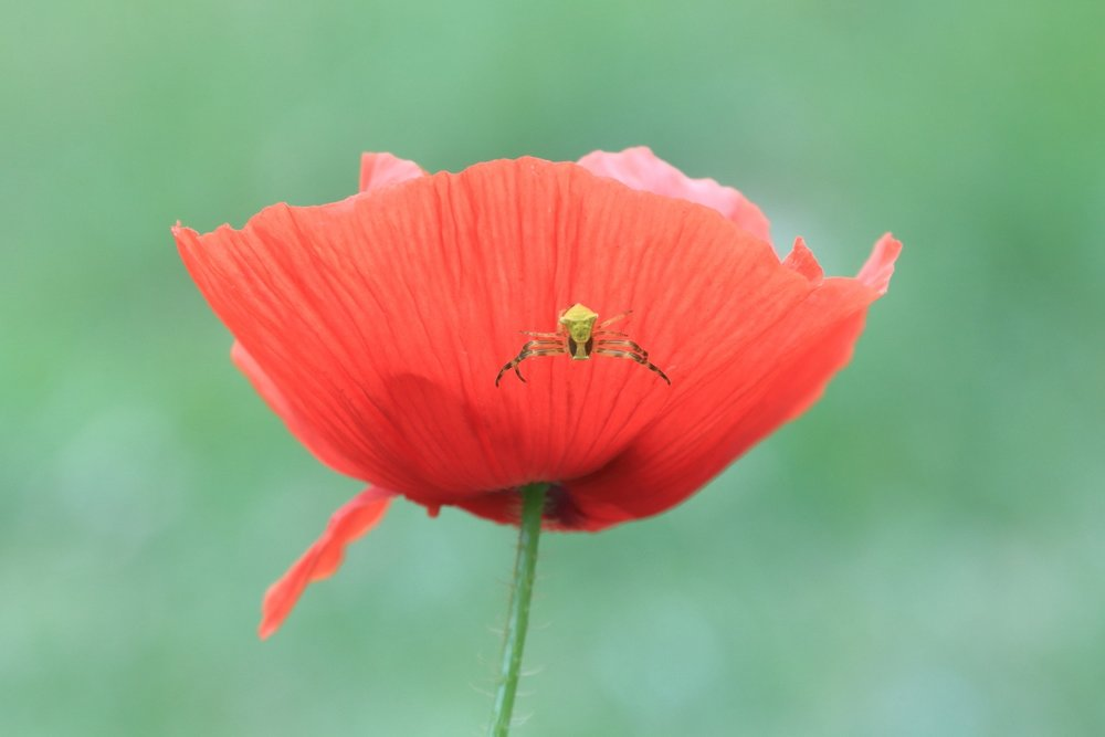 Yellow spider climbing the poppy!    Rep.of San Marino. 26 April 2014. 1/320 s, f/11, +1/3 EV, ISO 1000, 300 mm, EOS 6D + EF 28-300 L