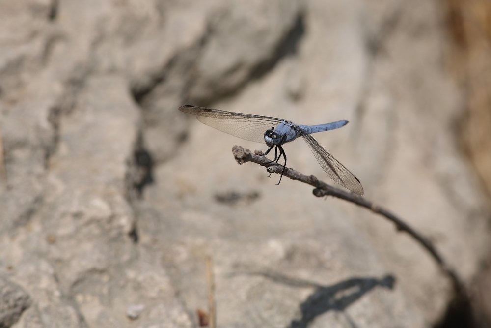 Blue Dragonfly!    Rep. of San Marino. 30 July 2006. 1/320 s, f/8, ISO 50, 300 mm, EOS 5D + EF 300 f/4 L