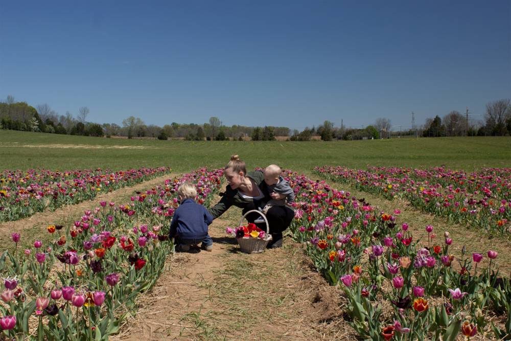 burnside-farms-tulips-nora-knox.png