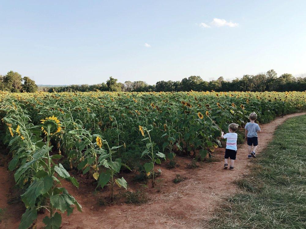 mcKee-beshers-sunflowers-nora-knox-1.jpg