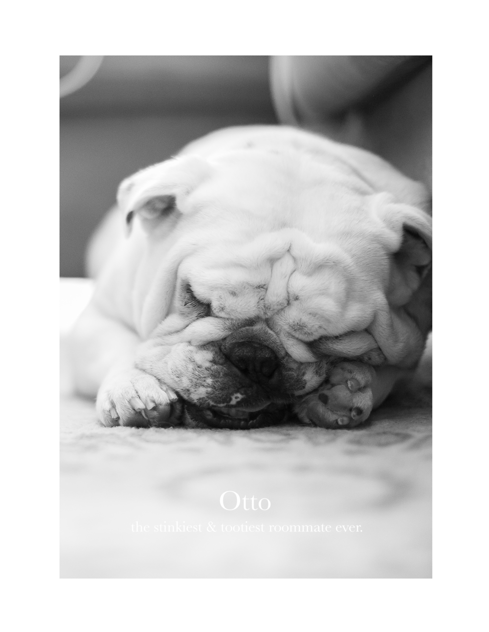 Otto_The_English_Bulldog_Madison_Wisconsin