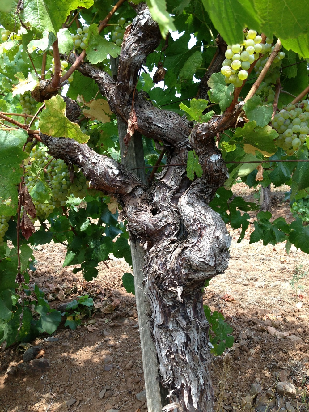50 Year-Old Vines
