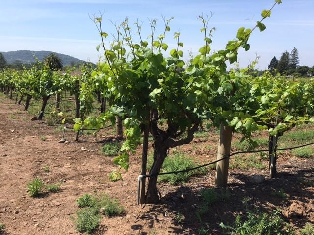Old Vines.jpg