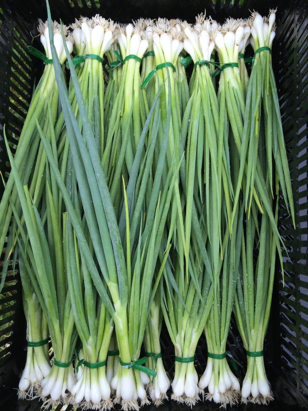 Parade green onions.